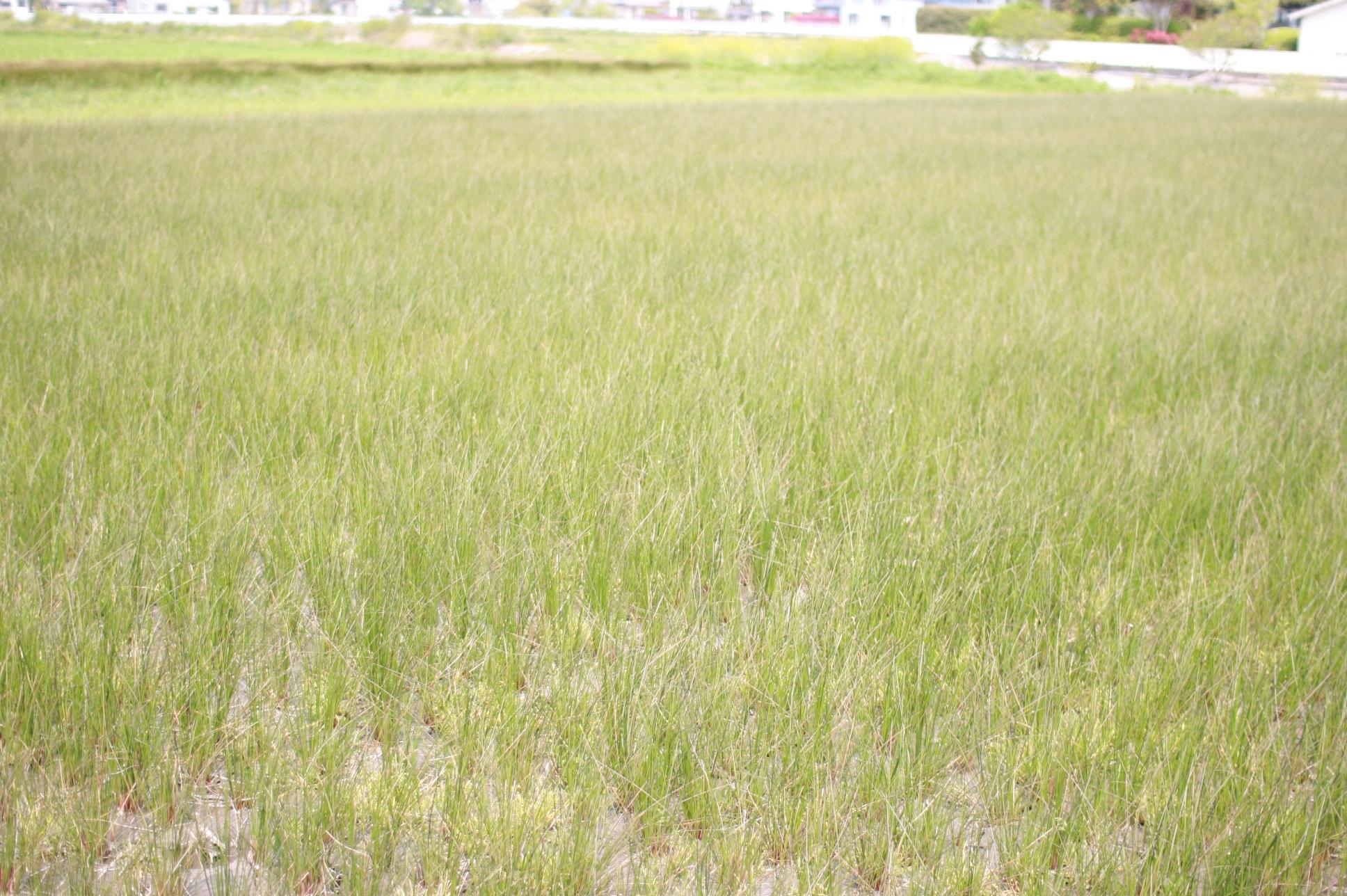 イ草栽培の水田